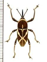 ゾウムシの一種 Cryptoderma sp. ♀  フィリピン(パナイ島)