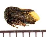 ツノゼミの一種 Membracid species  ペルー