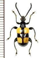 ハムシの一種 Chrysomelid species  ベトナム(ベトナム北中部)