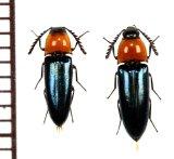 コメツキムシの一種 Elaterid species  ペア   ベトナム(ベトナム南部)