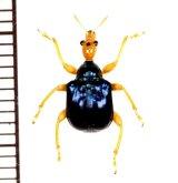 オトシブミの一種 Attelabid species  ベトナム(ベトナム中部)