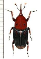 オサゾウムシの一種 Rhynchophorus sp. ベトナム(ベトナム北中部)