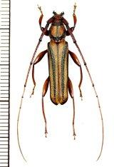アオスジカミキリ Xystrocera globosa ♂ ベトナム(ベトナム北中部)