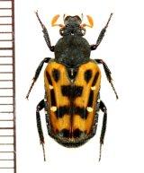 ハナムグリの一種 Euselates moupinensis  中国(浙江省)