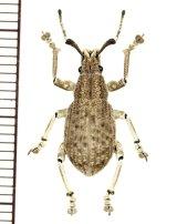 ゾウムシの一種  Curculionidae species   ベトナム(ベトナム南部)