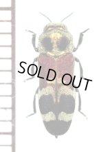 アリバチ擬態のタマムシの一種 Polyonychus tricolor ♂ タイ