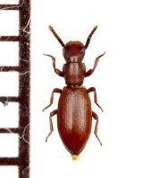 好蟻性のゴミムシダマシの一種 Dichillus sp. タジキスタン