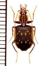 ゴミムシの一種 Carabid species インドネシア(スマトラ島)