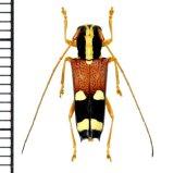 アリバチ擬態のカミキリムシの一種  Glenea caraga caraga ♀ フィリピン(ミンダナオ島)