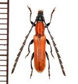 カミキリムシの一種  Cerambycid species ♂ ベトナム(ベトナム南部)