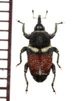 アリバチ擬態のゾウムシの一種 Curculionid species タンザニア
