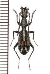 アリバチ擬態のゴミムシの一種 Cypholoba tenuicollis タンザニア