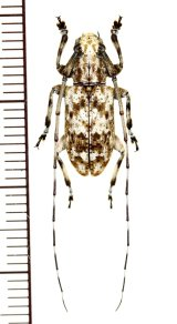 カミキリムシの一種 Cerambycid species ♂ マレーシア(ボルネオ島)