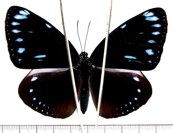 画像1: マルバネルリマダラ 台湾亜種 ♀ 石垣島