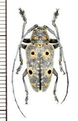 眼状紋を持つカミキリムシの一種 Megalofrea humeralis  ♂ マダガスカル