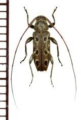 眼状紋を持つカミキリムシの一種  Nyssodrysternum caudatum ♂   フランス領ギアナ