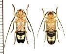 他の写真1: ホタル擬態のカミキリムシの一種 Isomerida albicollis ペア   フランス領ギアナ