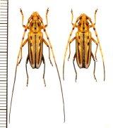 カミキリムシの一種 Ceragenia bicornis ペア   フランス領ギアナ