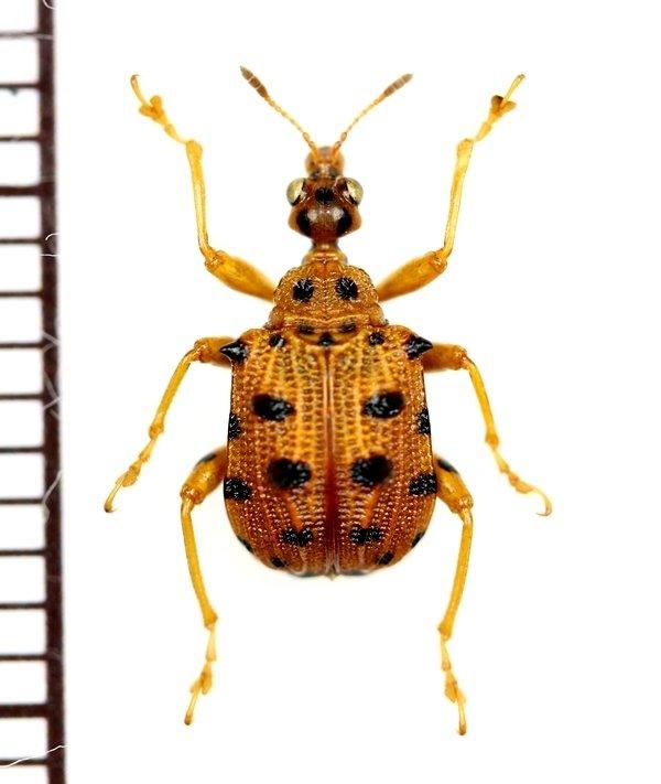 画像1: テントウムシ擬態のマダラオトシブミの一種 Haplapoderini species  ベトナム南部