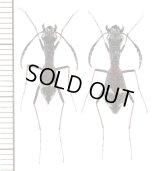 アリバチ擬態のハンミョウの一種 Dromica mesothoracica ペア ザンビア