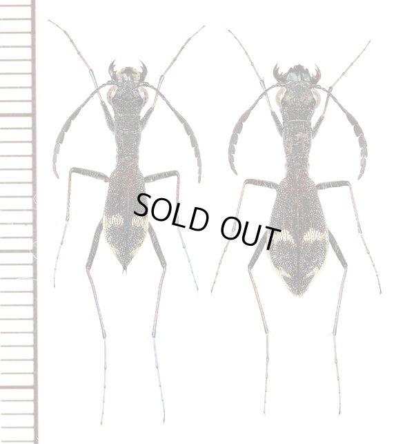画像1: アリバチ擬態のハンミョウの一種 Dromica mesothoracica ペア ザンビア