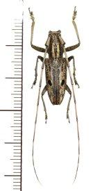 眼状紋を持つカミキリムシの一種  Pelargoderus luzonicus ♂ フィリピン(ルソン島)