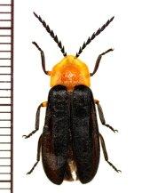 マドボタルの一種 Lampyrinae species ♂  フィリピン(パナイ島)