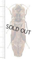 樹皮や地衣類に擬態したコメツキムシの一種 Pseudocalais basilewskyi カメルーン