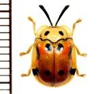 テントウムシ擬態のハムシの一種 Basiprionota decemmaculata タイ