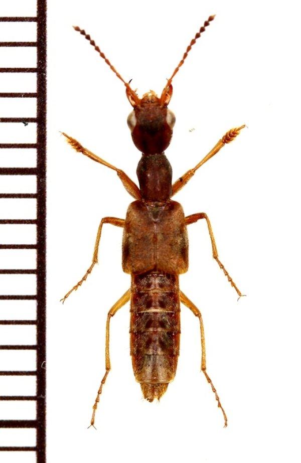 画像1: ハネカクシの一種 Staphylininae species 石垣島