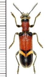 アリバチ擬態のカッコウムシの一種  Strotocera grandis   マレーシア