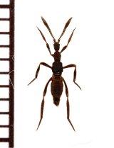 グンタイアリ擬態の好蟻性ハネカクシの一種 Ecitomorpha arachnoides ペルー