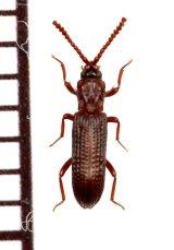 好白蟻性のゴミムシダマシの一種 Azarelius sculpticollis タイ