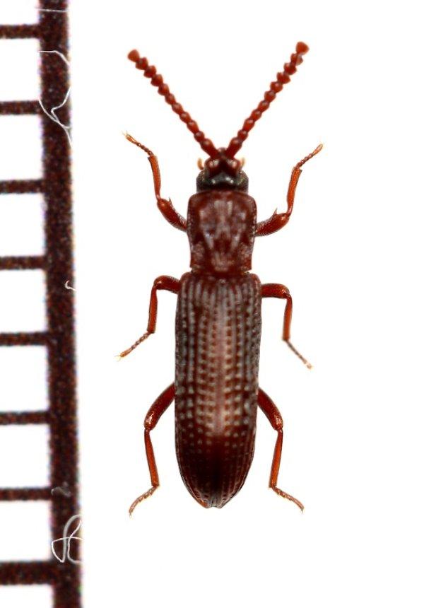 画像1: 好白蟻性のゴミムシダマシの一種 Azarelius sculpticollis タイ