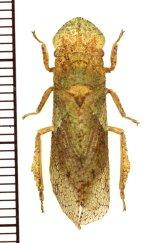 ミミズクの一種 Cercopidae species ♀ マレーシア(ボルネオ島)