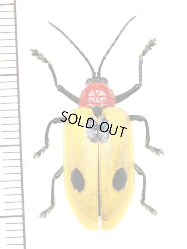 画像1: ハムシの一種 Alurnus sp.  ブラジル