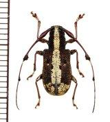 カミキリムシの一種 Caciomorpha plagiata ♀ ペルー