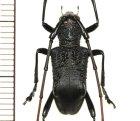 他の写真1: カミキリムシの一種 Falsotrachystola sp. ♂  ベトナム(ベトナム北東部)