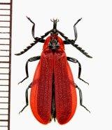ベニボタルの一種 Lycidae species ベトナム南部