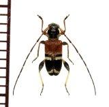 アリバチ擬態のカミキリムシの一種 Cerambycidae species フィリピン(ルソン島)