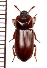 ゴミムシダマシの一種 Tenebrionidae species フィリピン(ルソン島)