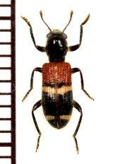 アリバチ擬態のカッコウムシの一種 Cleridae species 中国(雲南省)