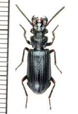 エグリゴミムシの一種 Pseudozaena tricostata opaca マレーシア