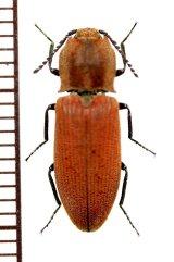 コメツキムシの一種 Elateridae species ♂ 中国(雲南省)