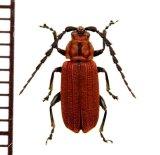 ベニボタル擬態のハムシの一種 Chrysomelidae species  ラオス