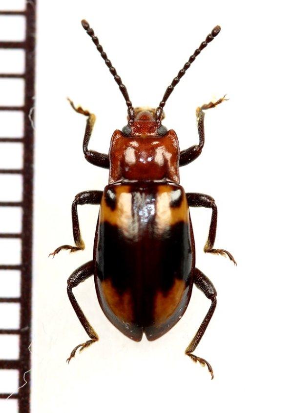 画像1: オオキノコムシ擬態のテントウムシダマシの一種 Endomychidae species 中央アフリカ共和国