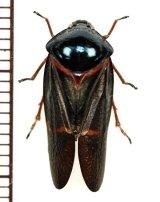 コガシラアワフキの一種 Cercopidae species ♂ 中国雲南省
