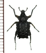 イボゾウムシの一種 Brachycerus sp. イタリア