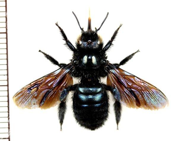 画像1: クマバチの一種 Xylocopa sp. ♀ ロシア