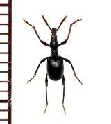 アリモドキゾウムシの一種 Cylas sp. ♂ 南アフリカ